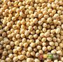 논 타작물로 재배한 콩, ㎏당 4,500원 전량 수매