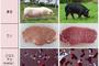 """제주재래돼지가 맛있는 이유 """"육질유전자 비밀에 있다"""""""