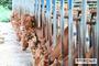 소·돼지 출하전 항체양성률 검사…구제역 차단 강화
