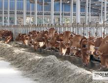 강화·동두천 소·돼지농장 4곳서 구제역 감염항체 검출