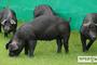 '우리흑돈' 전국 보급…흑돼지시장 국산화 나선다