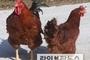 토종닭, 일반육계 보다 맛과 건강에 이로운 영양성분 풍부