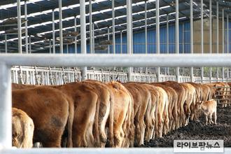 전국 소·염소 425만여두 구제역백신 일제접종 실시