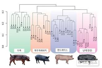 '난축맛돈' 고기 육질 결정짓는 유전자 발견