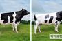 한국형 젖소 보증씨수소 2두 선발…9월 정액 공급