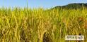 올 쌀 예상생산량 383만톤…전년보다 32만톤 증가
