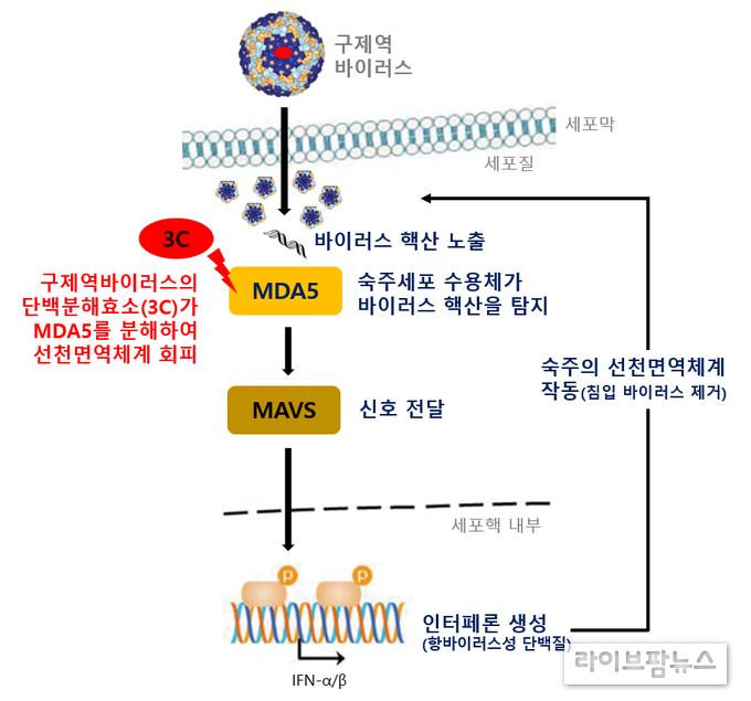 구제역 바이러스 방제를위한 항 바이러스제 개발 기반 마련